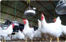 Dindings Poultry Development Centre Sdn Bhd Photos