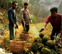 Durian Culture Photos