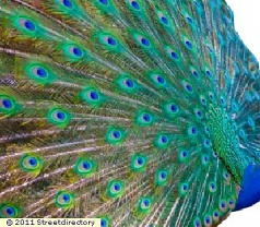 Peacock Unleashed Photos